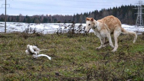 дрессировка собак для забегов